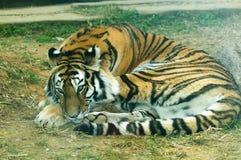 Altaica del Tigri della panthera Immagini Stock Libere da Diritti
