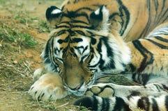 Altaica del Tigri della panthera Immagini Stock