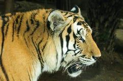Altaica del Tigri della panthera Fotografia Stock