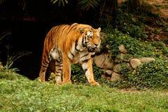 Altaica del Tigri della panthera che cammina lo zoo Fotografia Stock