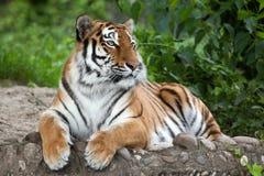 Altaica del Tigri della panthera della tigre siberiana Fotografie Stock Libere da Diritti