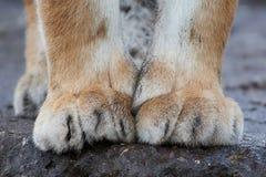 Altaica del Tigri della panthera della tigre siberiana Immagini Stock Libere da Diritti