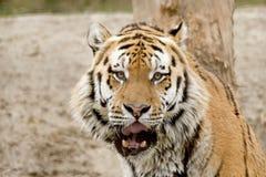 Altaica del Tigri della panthera o tigre siberiana Fotografie Stock Libere da Diritti