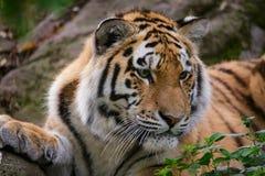 Altaica del Tigri della panthera della tigre siberiana Immagine Stock