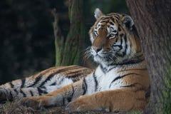 Altaica del Tigri della panthera della tigre siberiana Immagine Stock Libera da Diritti