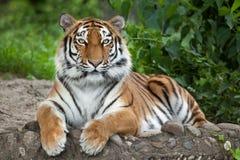 Altaica del Tigris del Panthera del tigre siberiano Fotografía de archivo libre de regalías