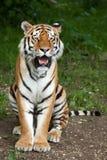 Altaica del Tigris del Panthera del tigre siberiano Foto de archivo libre de regalías