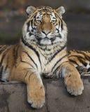 Altaica del Tigris del Panthera del tigre siberiano imagen de archivo libre de regalías