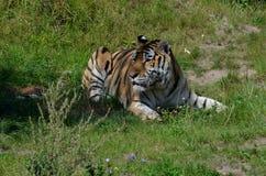 Altaica del Tigris del Panthera del tigre siberiano que espera pacientemente su comida imagenes de archivo