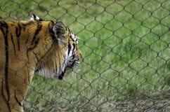 Altaica dell'Amur Tiger Panthera il Tigri del prigioniero immagini stock libere da diritti