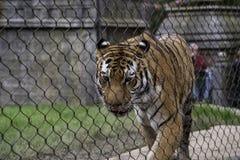 Altaica dell'Amur Tiger Panthera il Tigri del prigioniero fotografia stock