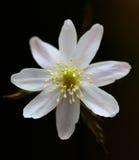 Altaica dell'anemone Immagini Stock