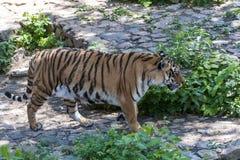 Altaica du Tigre de Panthera de tigre sibérien, également connu sous le nom d'Amur Photos stock