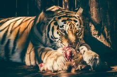Altaica du Tigre de Panthera de tigre sibérien images libres de droits