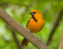 Altamira Oriole Royalty Free Stock Image