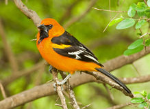 Altamira Oriole. A photograph of a beautiful and stikingly colored Altamira Oriole perched on a branch in a lush south Texas woodland Stock Image