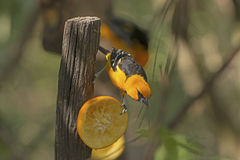 Altamira Oriole Feeding. In Santa Ana Wildlife refuge in Texas Royalty Free Stock Images