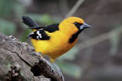 Altamira Oriole - gularis dell'ittero Immagine Stock