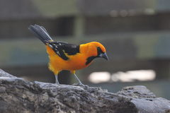 Altamira Oriole (Icterus gularis) Stock Images