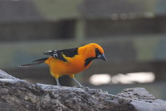Altamira Oriole (Icterus gularis) Stock Photography
