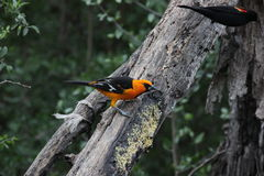 Altamira Oriole (Icterus gularis) Royalty Free Stock Photos