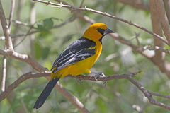 Altamira Oriole. In the Laguna Atascosa Wildlife Refuge in Texas Stock Images