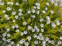 Altana, biali mali kwiaty przeciw zieleni ziemi pokrywie Fotografia Stock