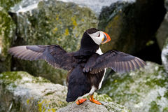 Altantic Puffin Royalty Free Stock Photos