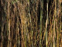 Altas cañas verdes marrones Imágenes de archivo libres de regalías