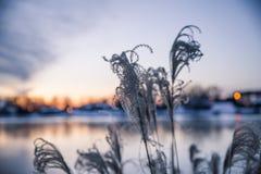 Altas hierbas ornamentales en el viento en puesta del sol de oro del invierno encima imagen de archivo libre de regalías