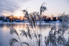 Altas hierbas ornamentales en el viento en puesta del sol de oro del invierno encima fotografía de archivo