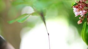 Altas imágenes de vídeo completas de la resolución de la definición de la fruta de la flor de la manzana de estrella con la mosca almacen de video