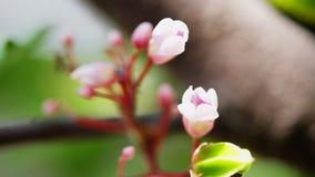 Altas imágenes de vídeo completas de la resolución de la definición de la fruta de la flor de la manzana de estrella con la mosca almacen de metraje de vídeo
