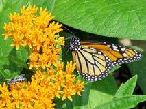 Altas mariposa y abeja de monarca del parque de Toronto en una flor 2017 Imagenes de archivo