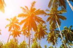 Altas palmeras contra un cielo azul Fotografía de archivo