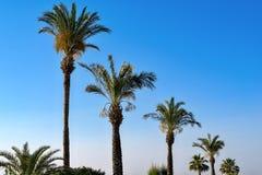 Altas palmeras mullidas Fotos de archivo