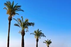 Altas palmeras mullidas Imágenes de archivo libres de regalías