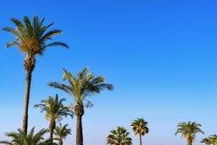 Altas palmeras mullidas Fotografía de archivo