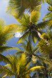 Altas palmeras verdes Imágenes de archivo libres de regalías