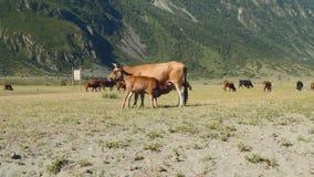 Altay βουνών τοπίο Το τοπίο θερινών βουνών Η πράσινη χλόη καλύπτει μια μεγάλη κοιλάδα που βρίσκεται μεταξύ του χιονιού απόθεμα βίντεο