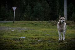 Altay defender animal look forward Royalty Free Stock Photography