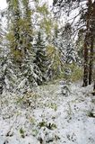 Altay forest Stock Photo