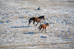 Altay horse. Horse and foal in a valley among the mountains of Altai Royalty Free Stock Image
