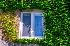 Altbaufenster gestaltet durch Efeublätter lizenzfreie stockfotografie