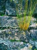 Alte Abteiwand mit Gras Lizenzfreie Stockbilder