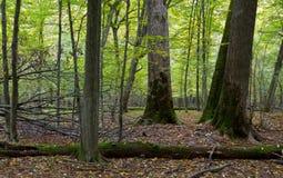 Alte Ahornbäume im Fall Lizenzfreies Stockfoto