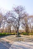 Alte Akazie im Küsten-Park von Burgas in Bulgarien Lizenzfreies Stockbild