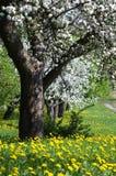 Alte Apfelbäume Stockfoto