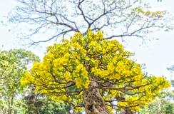 Alte Aprikosenbäume werden gen Himmel entspringen ausgedehnt Stockbilder
