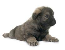 Alte Art Schäferhund Lizenzfreie Stockbilder